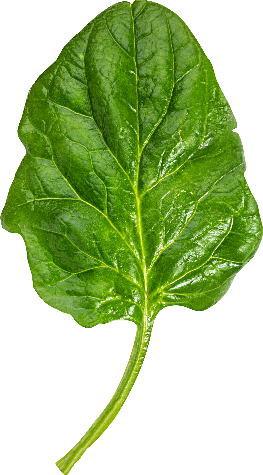 vertical spinach leaf
